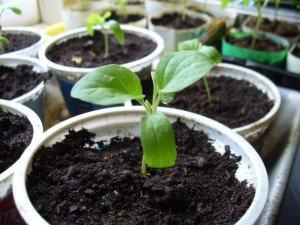 Подготовка почвы и семян для выращивания рассады огурцов