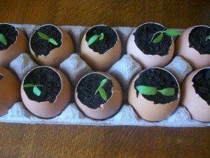 Хорошие семена огурцов – залог отменного урожая