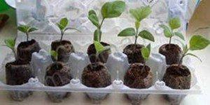 Баклажаны: выращивание рассады