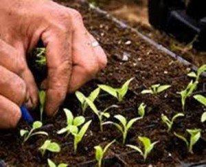 Как сажать баклажаны на рассаду