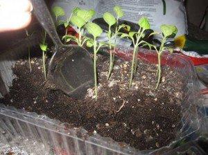 Нужно ли пикировать баклажаны до высадки в грунт?