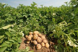 Лечение и профилактика болезней картофеля