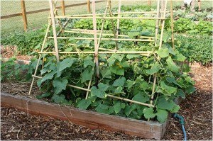 cucumber-trellis-raised-bed