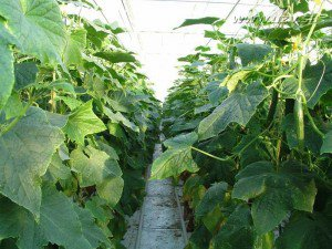 Какие огурцы на гидропонике можно вырастить у себя дома