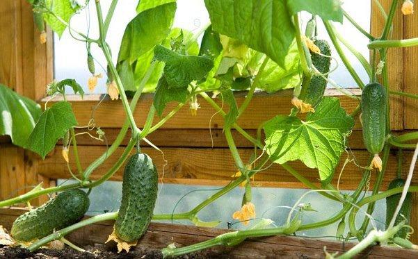 Выращивание баклажан с огурцами 975