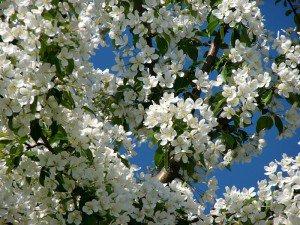 Яблоня «Ранетка» и как яблоня цветет