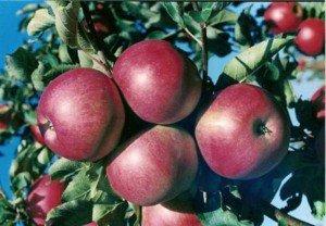 Яблоня белый налив и джонатан. Правила ухода