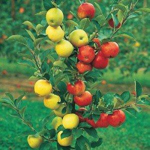 Главное дерево сада – яблоня, прививка — это ее омоложение