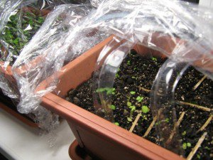 Клубники из семян – не сложный способ размножения