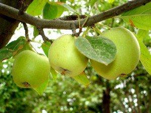 Яблони белый налив, уход в весеннее время