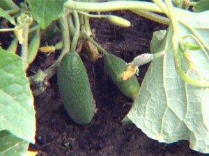 Как выращивает огурцы Октябрина Ганичкина в своем чудо-огороде