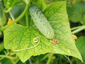 Как просто подготовить семена огурцов для открытого грунта