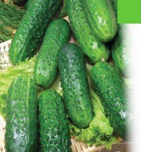 Огурец маринда f1 — несколько советов по выращиванию