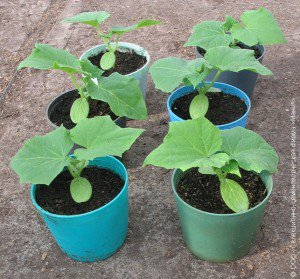 Рассада огурцов — как правильно выращивать