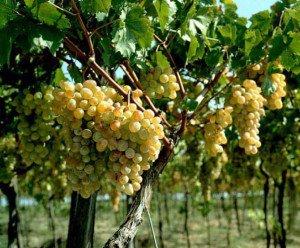Виноград – уход и урожайность