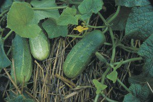 pickling-cucumbers-02