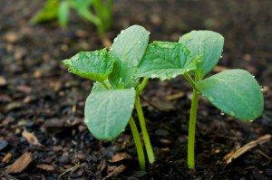 Советы о том, как посадить огурцы