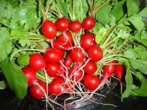 Как вырастить ранний редис в теплице и уберечь сад от вредителей
