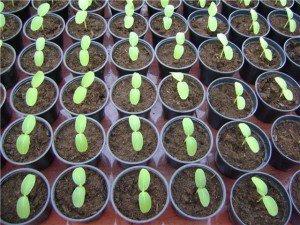 Выращиваем огурцы рассадой