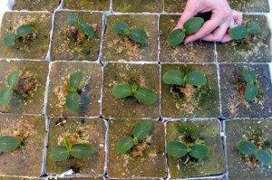 Огурцы – выращивание рассады