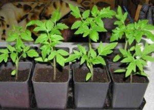 Как сажать помидоры, чтобы получить хороший урожай