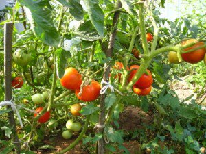 tomat-03