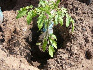 Выращивание рассады помидоров на Урале