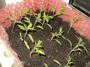 История томата и технология выращивания рассады для помидоров