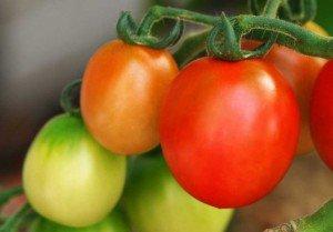 Как вырастить рассаду помидор, чтобы был хороший урожай?