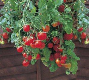 Когда и как сажать помидоры на рассаду?