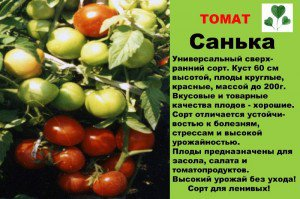 Овощи без теплиц: выращивание помидоров в открытом грунте