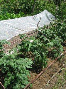 Как провести пикирование рассады помидор?