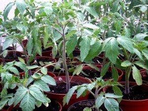 Выращиваем томаты: как сажать семена помидор