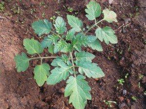 Помидоры черри выращивание и сорта