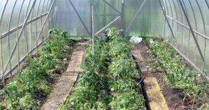 Как вырастить ранние помидоры?