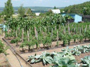 Октябрина Ганичкина о  помидорах: полезные советы