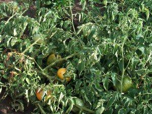Как вырастить рассаду помидор