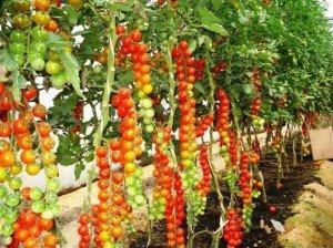 tomat-23