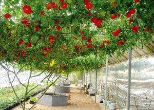 Посадка помидор на рассаду – основа достойного урожая