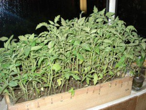 Выращивание помидоров без особых навыков