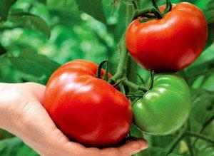 Выбираем благоприятный день для посадки помидор