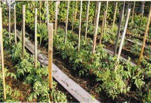 Хороший урожай: выращивание рассады помидоров в домашних условиях