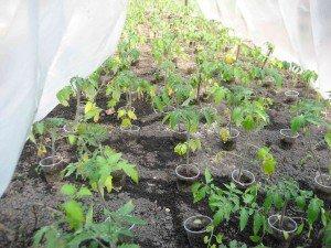 Как поливать рассаду помидор, чтобы выросло чудо