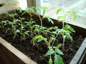 Какие сорта помидоров для открытого грунта нам подходят?