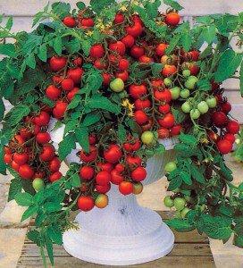 tomat-37a