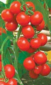 Уход за рассадой помидор – залог будущего урожая