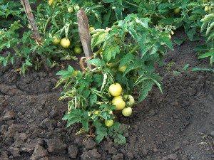 Секрет выращивания желтых помидоров