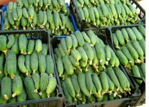 varieties of cucumbers