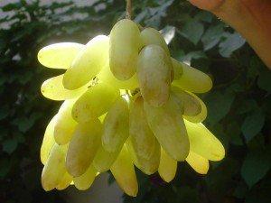 Сорт винограда Дамские пальчики и Изабелла