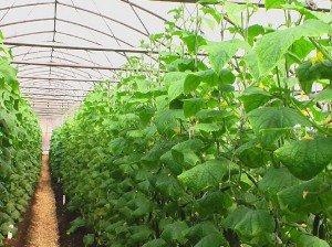 Успешно вырастить огурцы в теплице